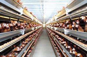 Xuất khẩu lao động: tuyển 12 nam tu nghiệp sinh nông nghiệp (Chăn nuôi gà) tại tỉnh TOYAMA-Nhật Bản