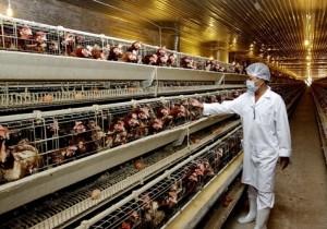 Tuyển 3 tu nghiệp sinh làm ngành nghề Chăn nuôi gà (Nông nghiệp)