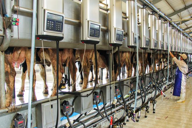 chăn nuôi vắt sữa Nhật Bản